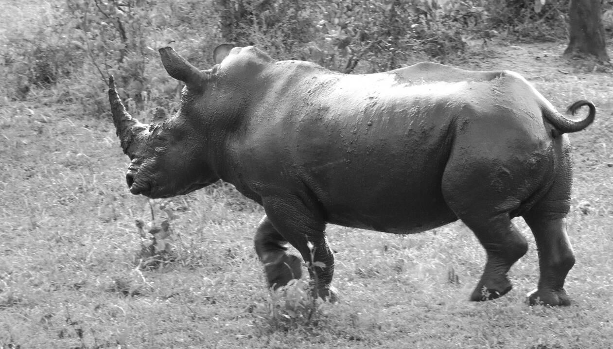 rhino running